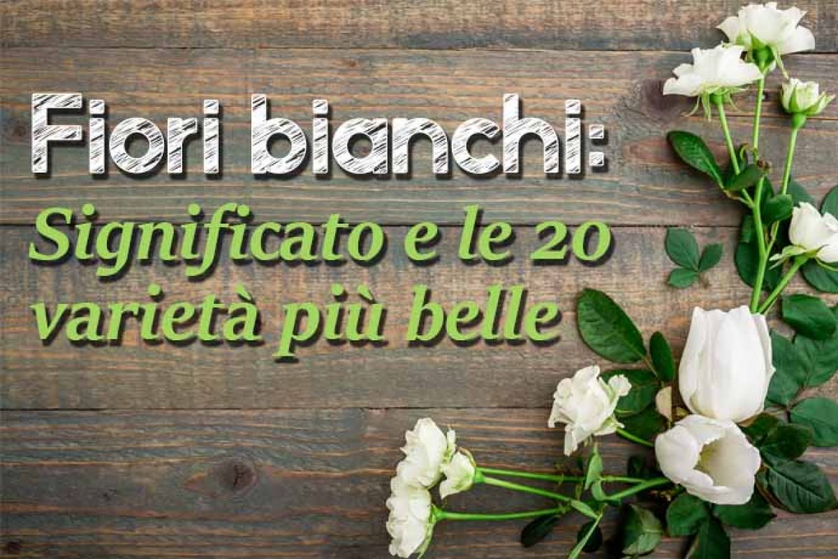 Fiori Bianchi Con Centro Nero.Fiori Bianchi Significato E Le 20 Varieta Piu Belle Greenme It