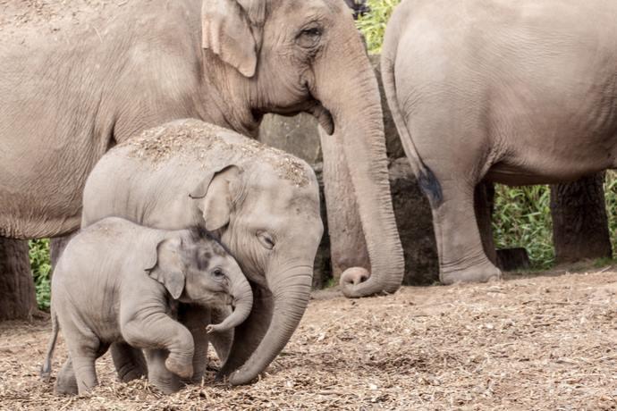 elefanti zanne