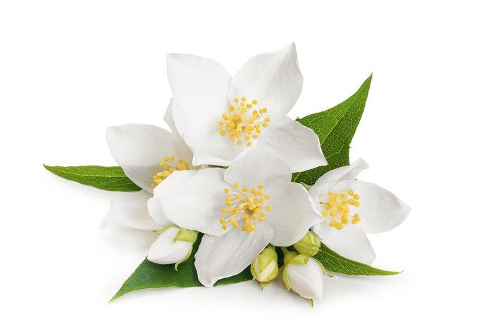 fiore gelsomino