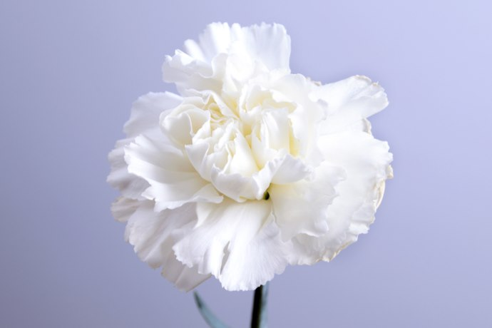 garofano bianco