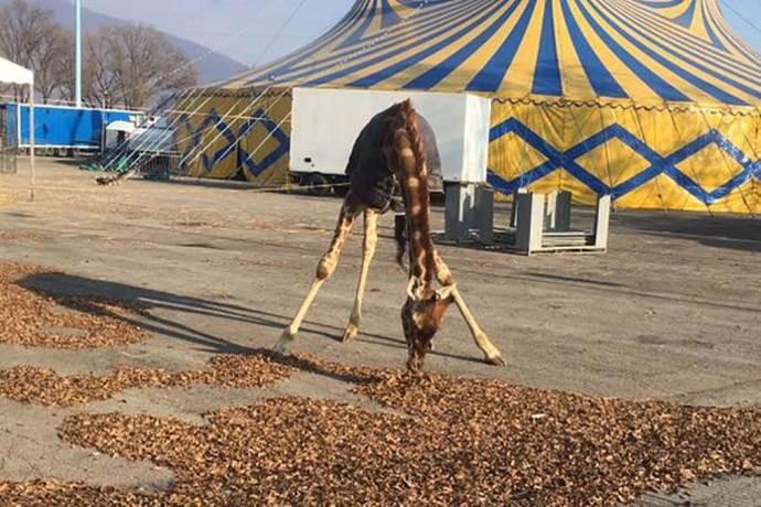 giraffa-orfei