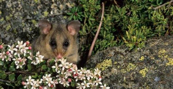 opossum 10cose 1