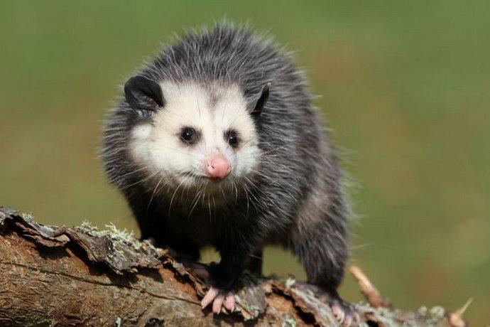 opossum 10 cose da sapere