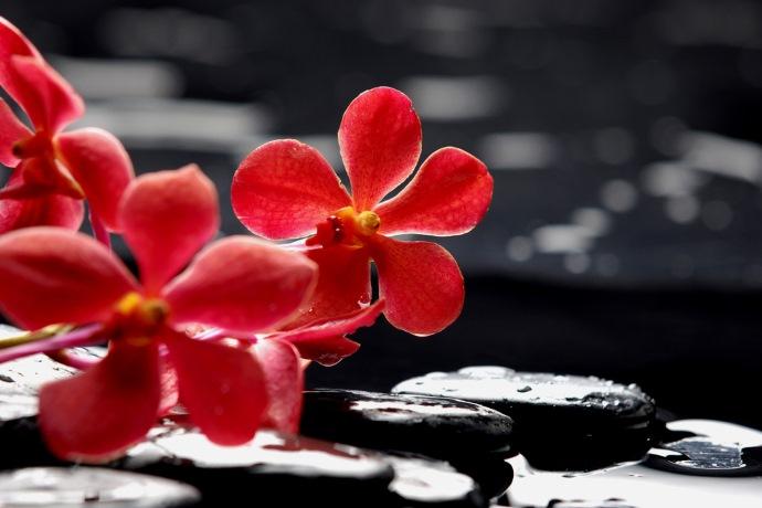 orchidea rossa