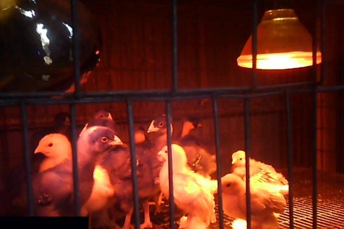 quaglie in gabbia