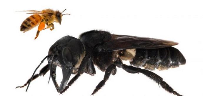 ape gigante2