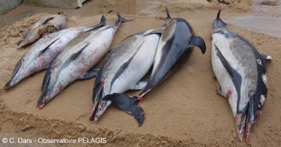 delfini francia1