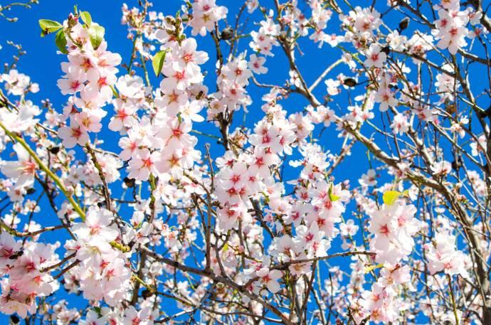 fiori di mandorlo3