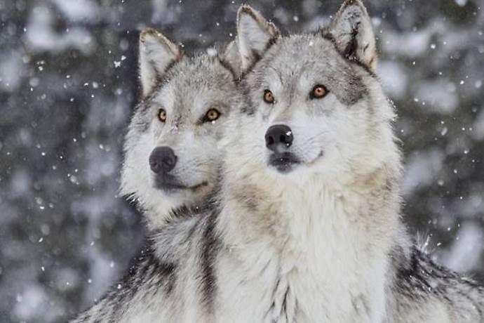 lupi abbattimento