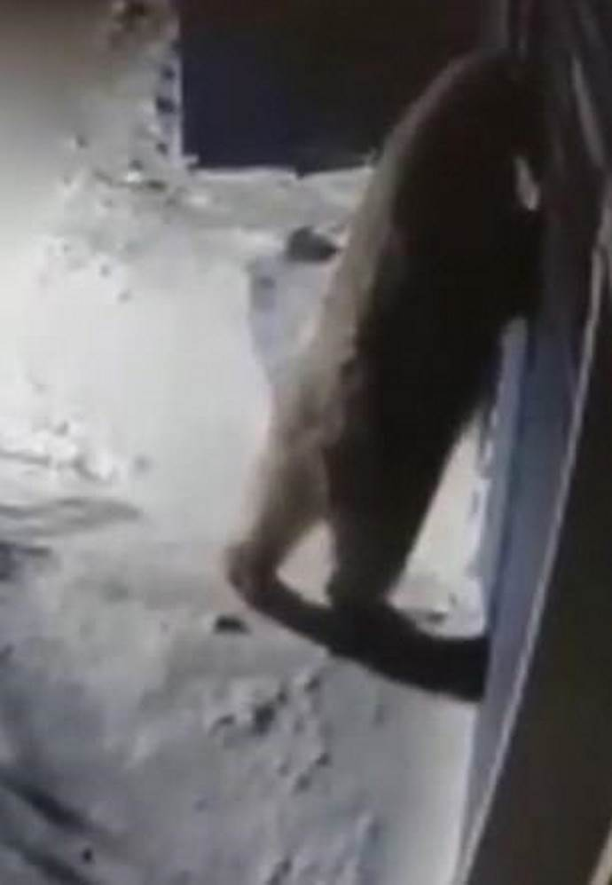 orso polare russia