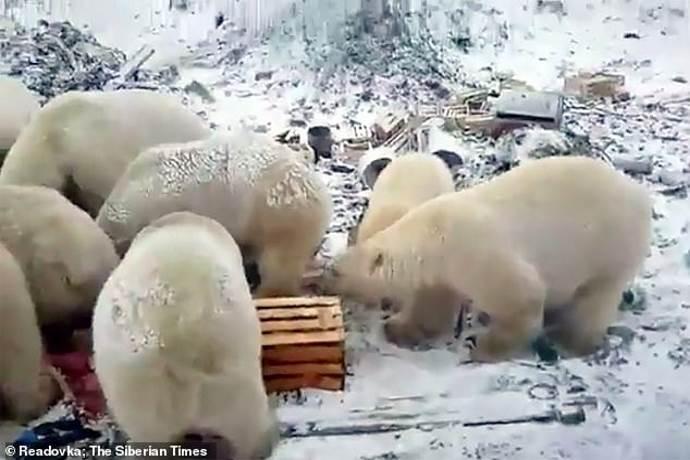 orso-polare-russia