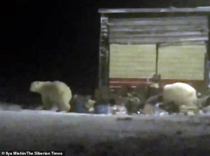 orso polare russia2