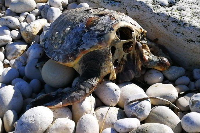 tartarughe decapitate