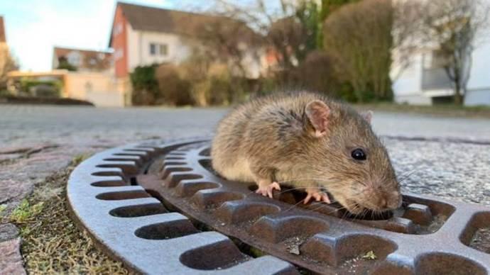 topo grasso salvato1