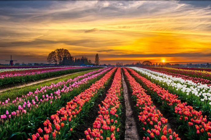 Tulipani Paderno Dugnano