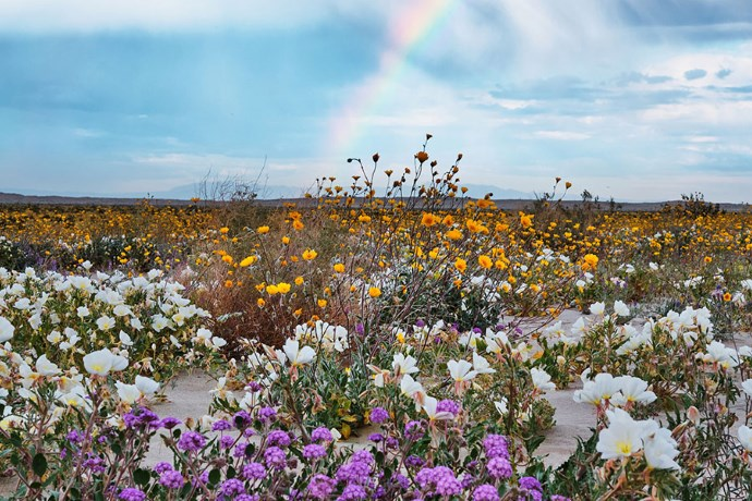 superbloom deserto california