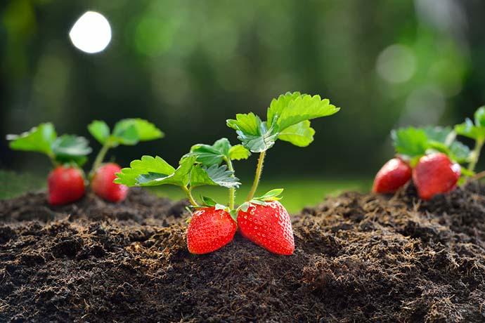 coltivare_fragole