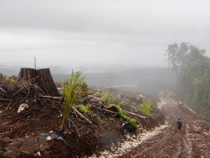 deforestazione papua3