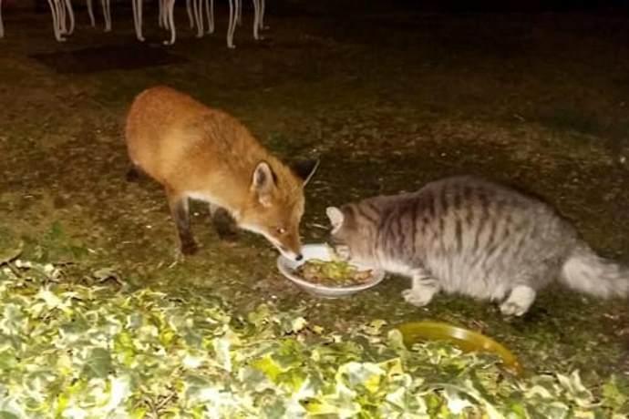 Gatto e volpe