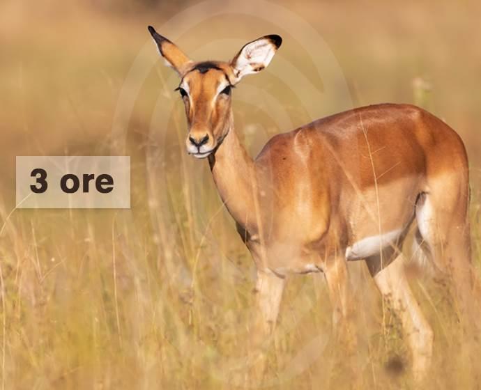 impala ita