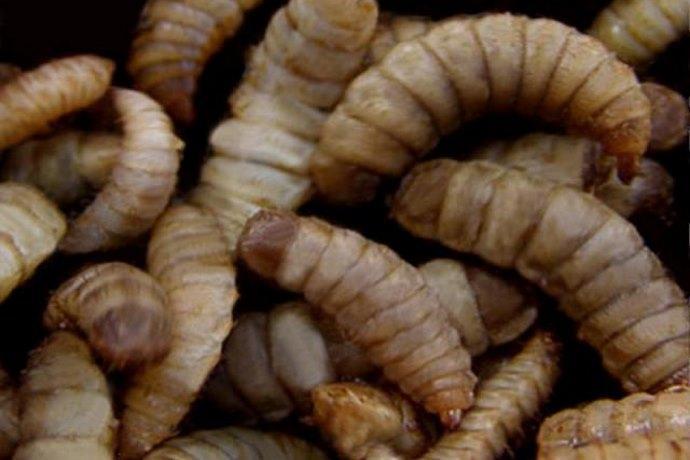 larve biodiesel letame