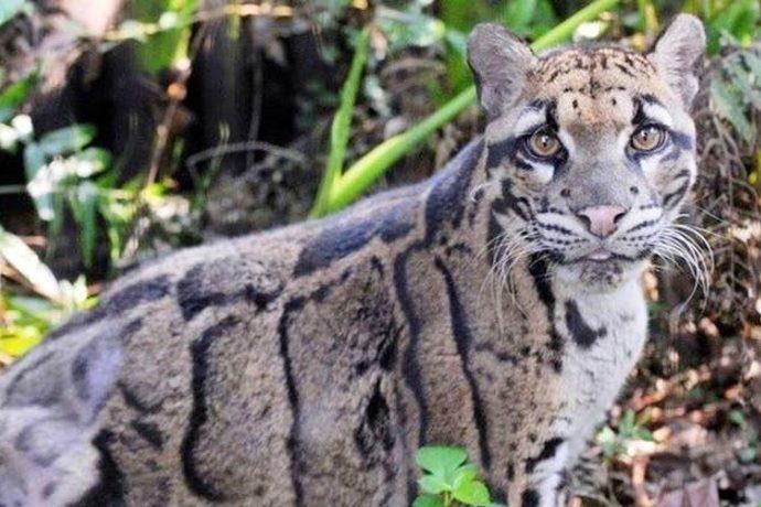 leopardo di Taiwan