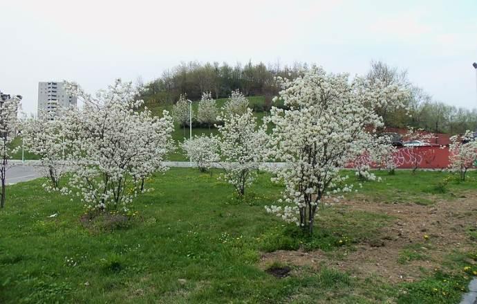 milano collina dei ciliegi 3