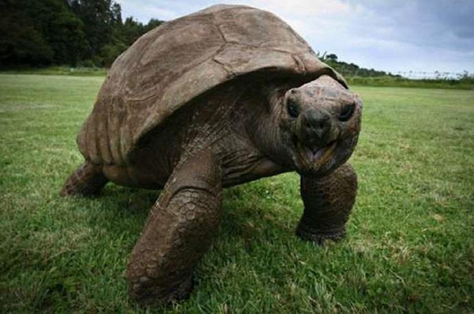jonathan-tartaruga-piu-vecchia-del-mondo