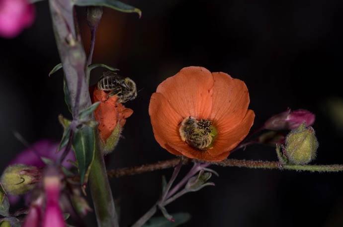 api fiore 1