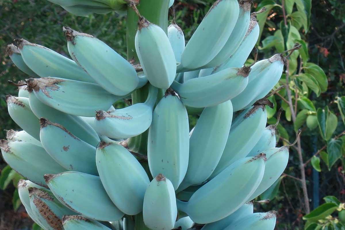 Pianta Di Banana Foto blue java: le banane blu che sanno di gelato alla vaniglia