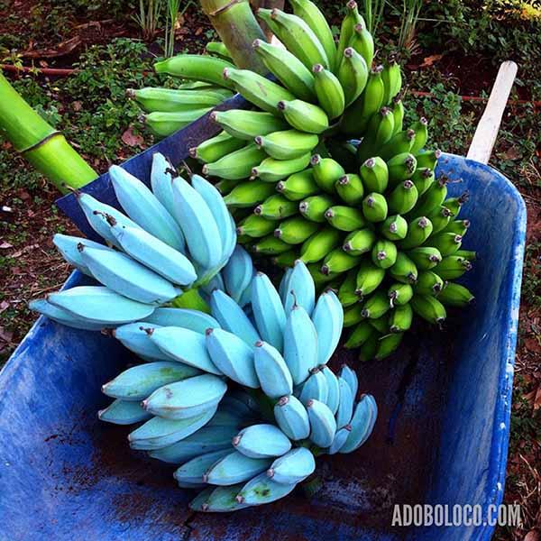 blue java mature