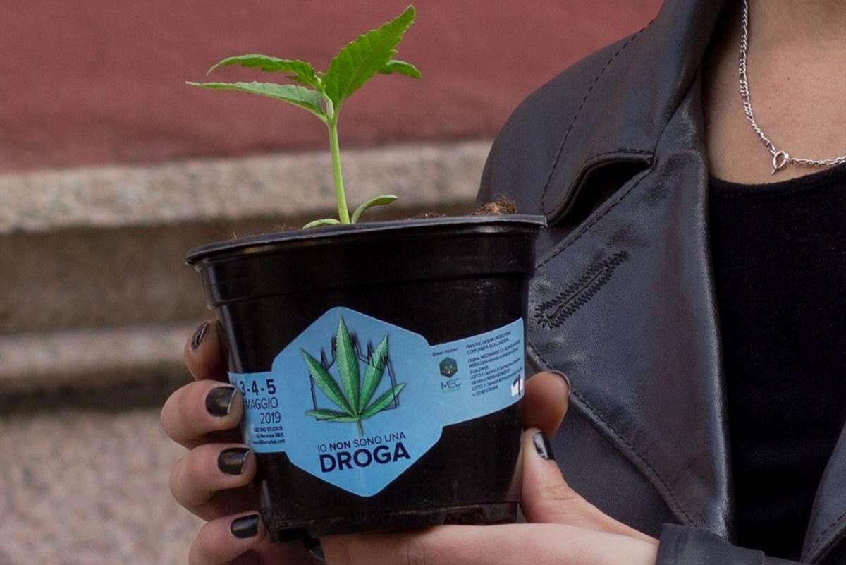 piantine cannabis