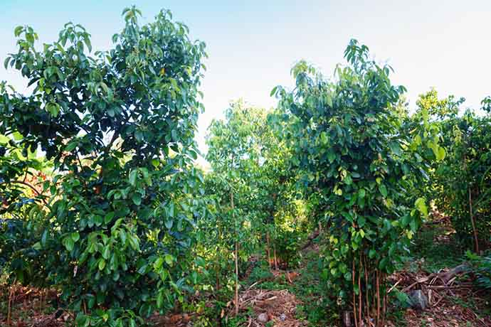 cannella alberi