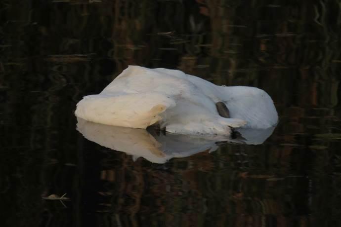cigno-morto