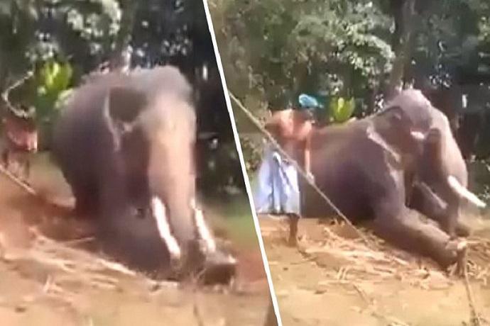 elefante picchiato video