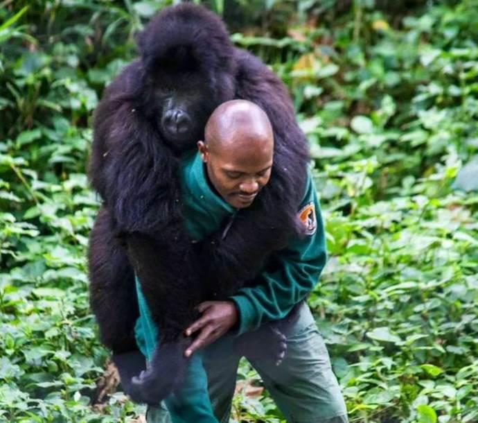 gorilla guardia parco4