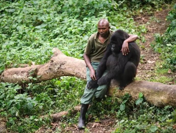 gorilla guardia parco5