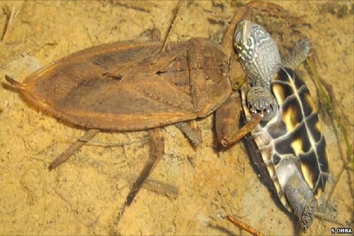 insetti giganti acquatici