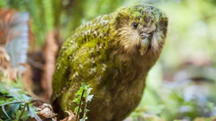kakapo 1