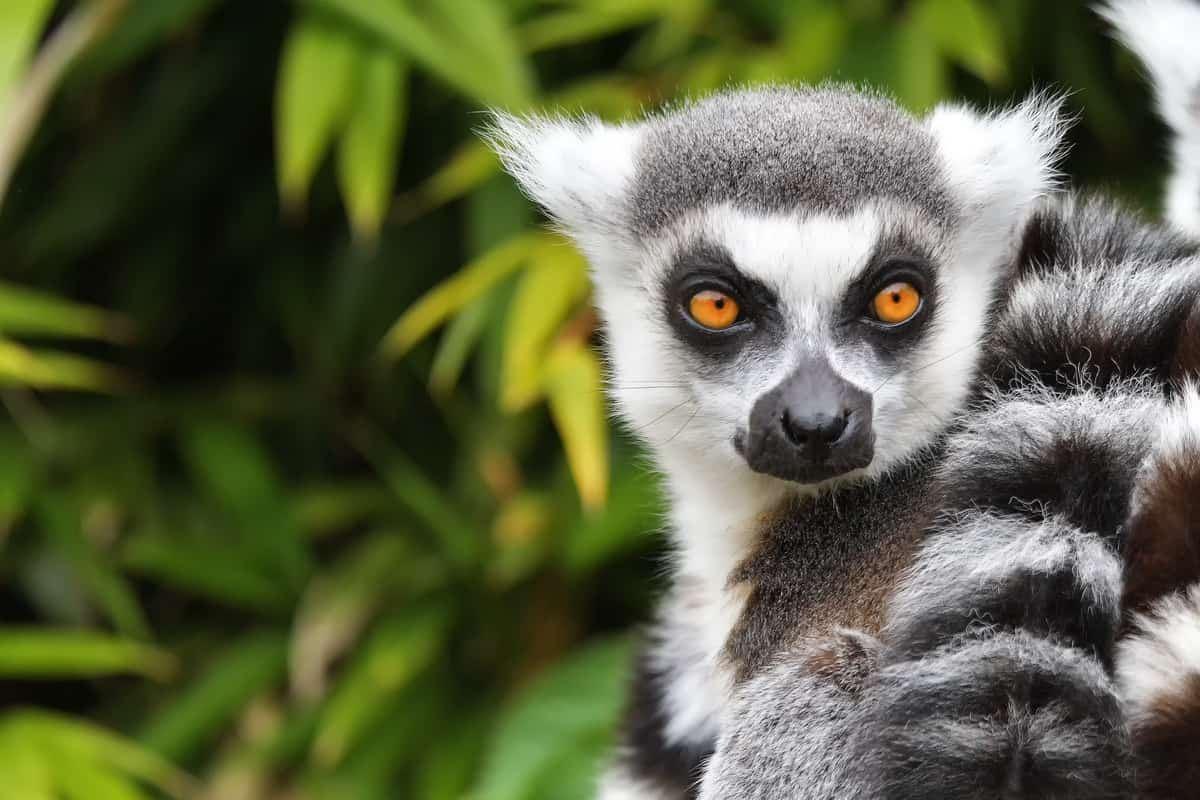 lemure madagascar rischio estinzione
