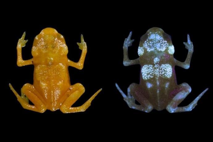 rane fluorescenti stagione amori