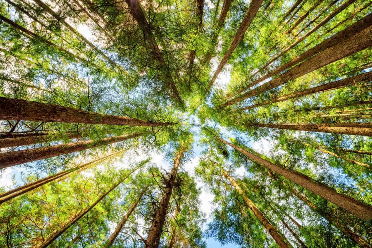 alberi muoiono prima