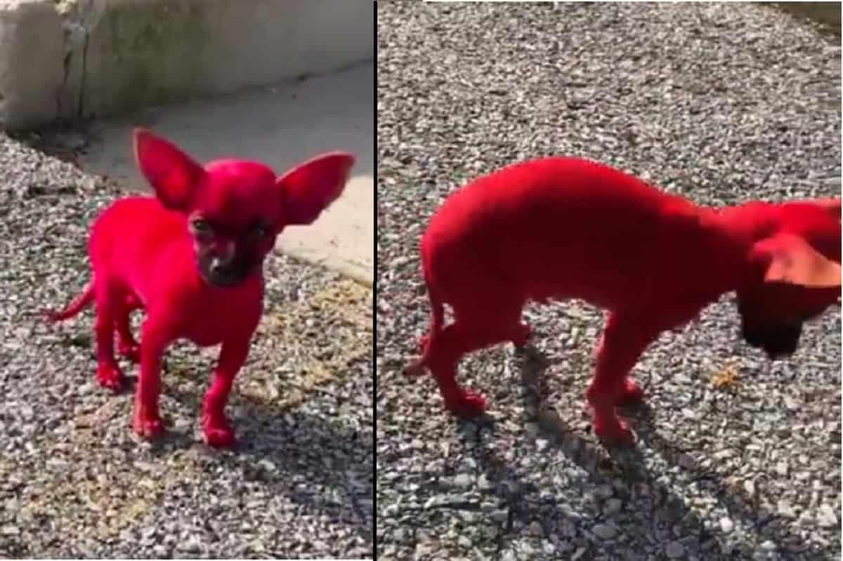 cane-colorato rosso rapper
