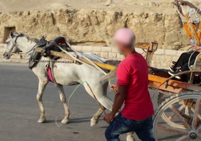 cavalli peta2