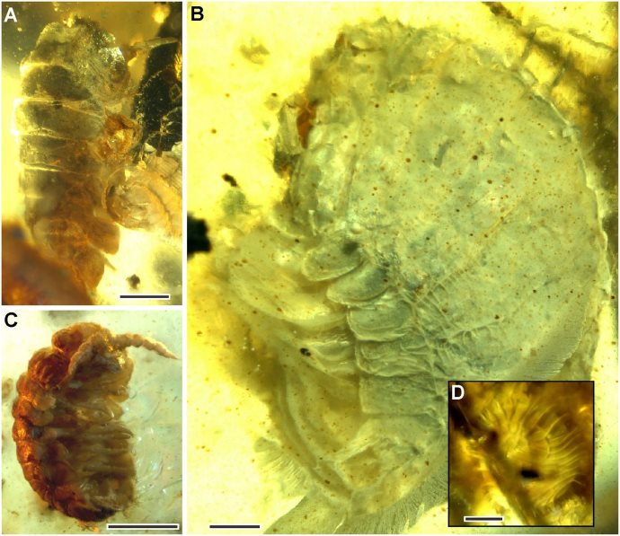 fossili ambra2