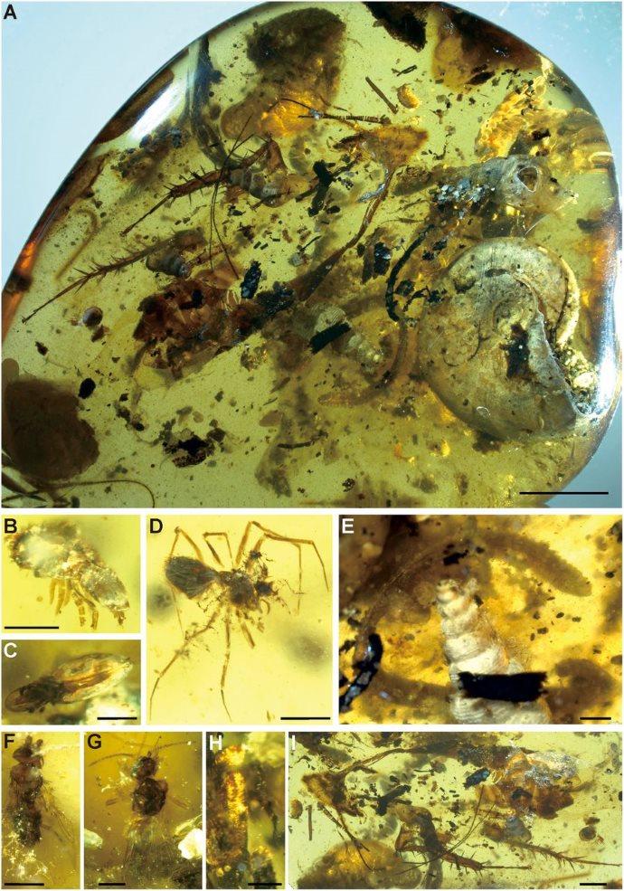 fossili ambra4