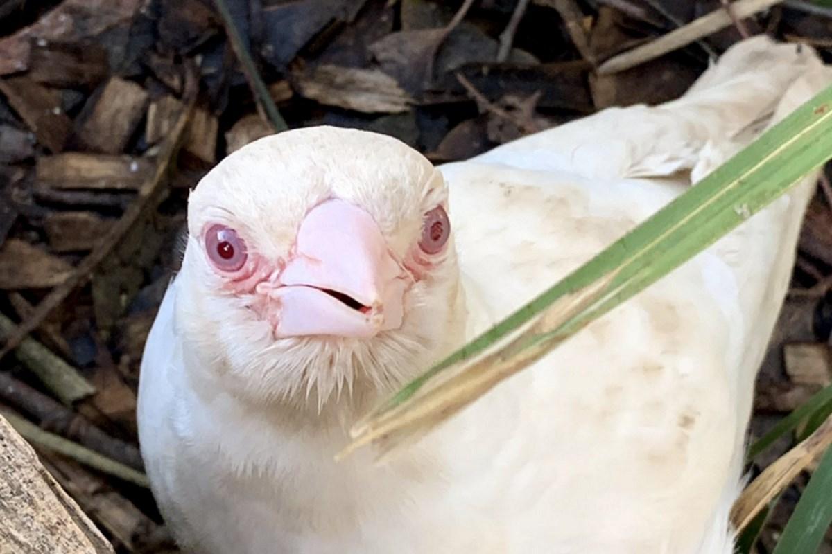 gazza albina