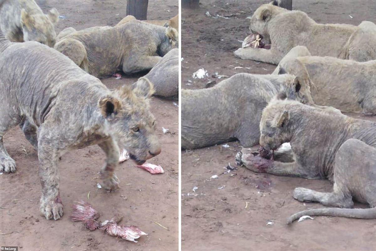 leoni malatrattati