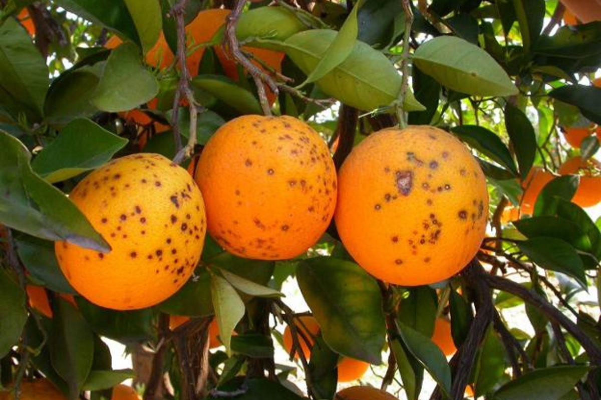 arance infette macchia nera
