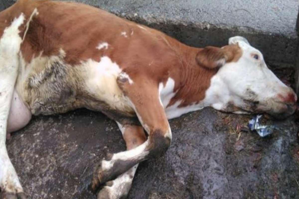 mucca morta